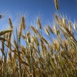 Yellow ripe wheat against blue sky / summer — Stock Photo