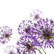Beautiful Allium / abstract on white — Stock Photo #6202008
