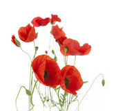 Natural Fresh Poppies isolated on white / focus on the foregroun — Stock Photo