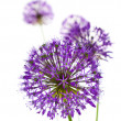 Stock Photo: Beautiful Allium Fliwers / abstract on white