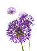 Beautiful Allium Fliwers / abstract on white — Stock Photo