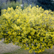 Flowery tree — Stockfoto