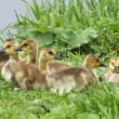 Canada goslings - Stock Photo