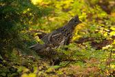 Partridge — Stock Photo