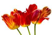 Three tulips — Stock Photo