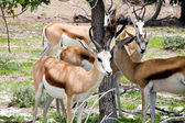 Group of Springboks at Ethosa National Park — Stock Photo
