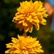 Stock Photo: Yellow Heliopsis