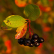 Stock Photo: Ripe Black Chokeberry