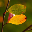 Leaves of Chokeberry — Stock Photo