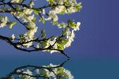 Bílé květy na jaře — Stock fotografie