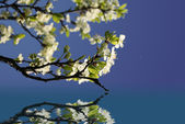 Spring white blossoms — Stockfoto