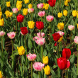 Spring tulips — Stock Photo #5678561