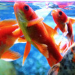 Foto de Stock  : Goldfish are fed in aquarium