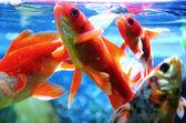 Goldfish are fed in an aquarium — Stock Photo