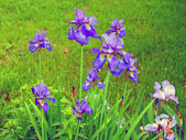 Blue flowers iris — Stock Photo