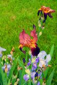 Bordó květina kosatec — Stock fotografie