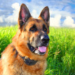 German shepherd — Stock Photo #5963300