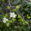 Apple Blossom spring — Stock Photo