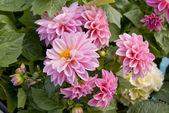 Flowers Dahlias pink — Stock Photo