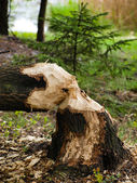 Of beavers in the woods — Stock Photo
