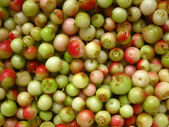 Green, unripe fruits harvested lingonberry — Stock Photo