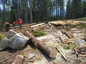 Trabalho sobre o corte de árvores — Foto Stock