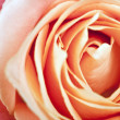 Rose — Stock Photo #6236963
