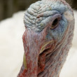 Close up of a turkey — Stockfoto