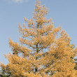 Juniper tree in fall — Stock Photo