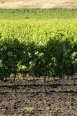 Vineyard field — Stock Photo