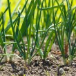Onions in vegetable garden — Stock Photo #5588487