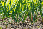 Onions in vegetable garden — Stock Photo