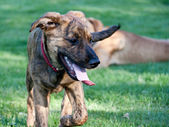 Tired hound puppy on a grass field — Stock Photo