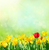Spring background with tulips — Stock Photo