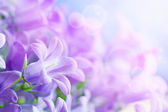 Campanula background — Stock Photo