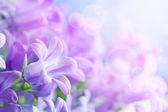 Campanula background — Stock Photo