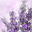 Lavender background — Stock Photo