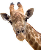 Zürafa portre — Stok fotoğraf