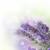 Fresh lavender — Stock Photo