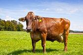 Brown Swiss Cow — Stock Photo