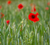 Red poppy on a field of wheat — Stockfoto
