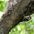 Rare woodpecker — Stockfoto