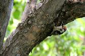 Rare woodpecker — Stock Photo