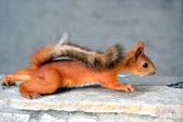 L'écureuil roux — Photo