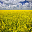 Canola field — Stockfoto
