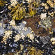 Mussels and barnacles at low tide - Stock Photo