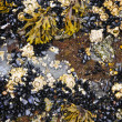 Mussels and barnacles at low tide — Foto Stock