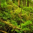 Lush temperate rainforest - Stock Photo