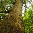Tall hemlock tree trunk in temperate rainforest - Stock Photo