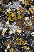 Mussels and barnacles at low tide — Stock Photo